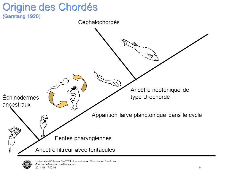 Origine des Chordés (Garstang 1920)