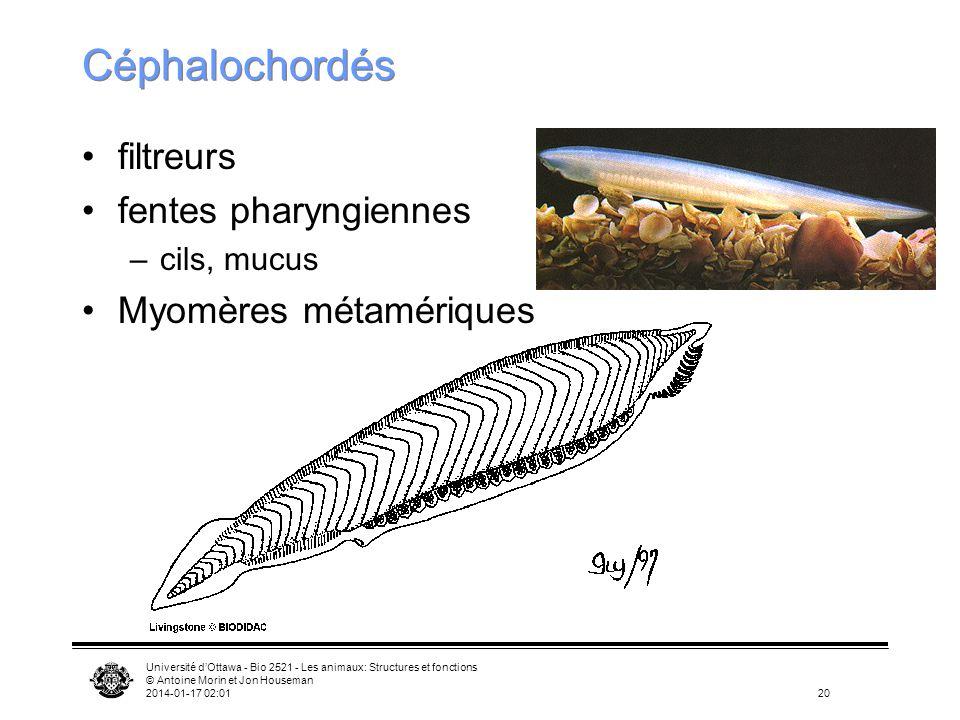 Céphalochordés filtreurs fentes pharyngiennes Myomères métamériques