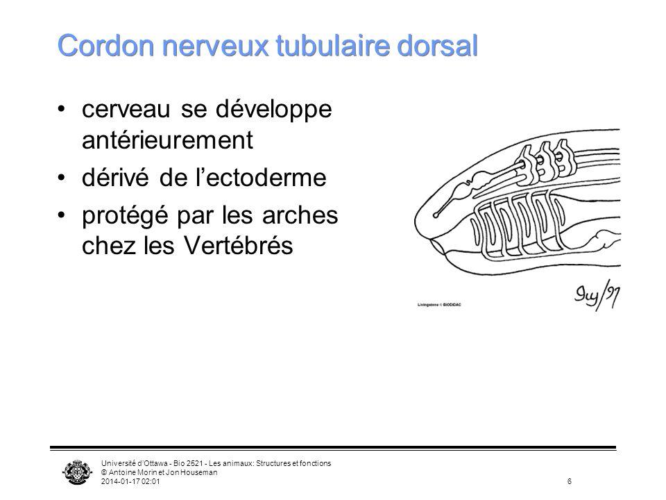Cordon nerveux tubulaire dorsal