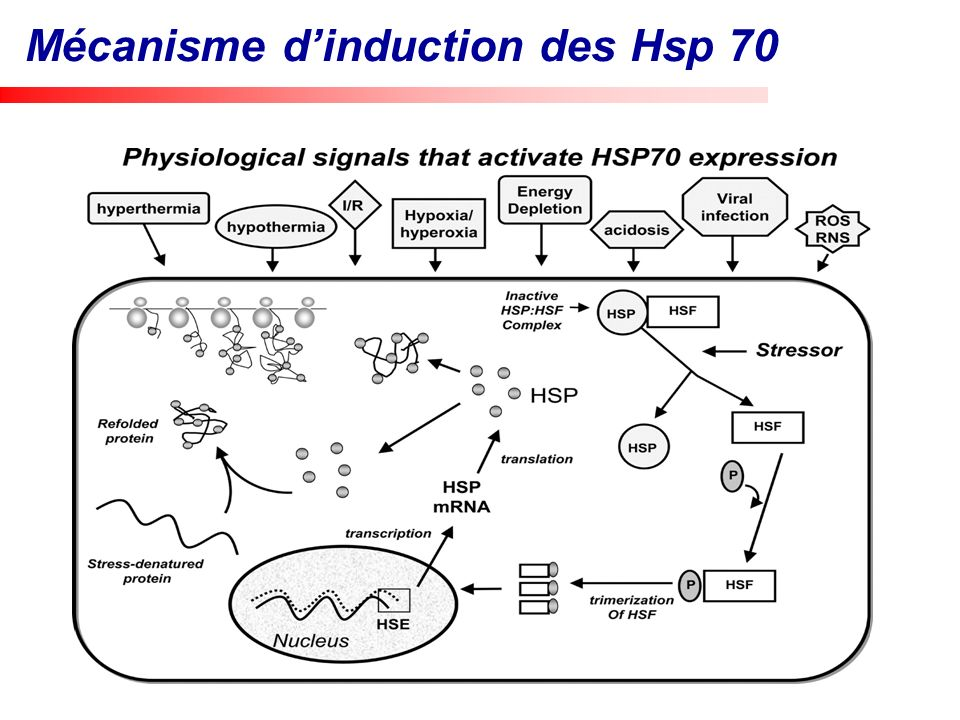 Mécanisme d'induction des Hsp 70
