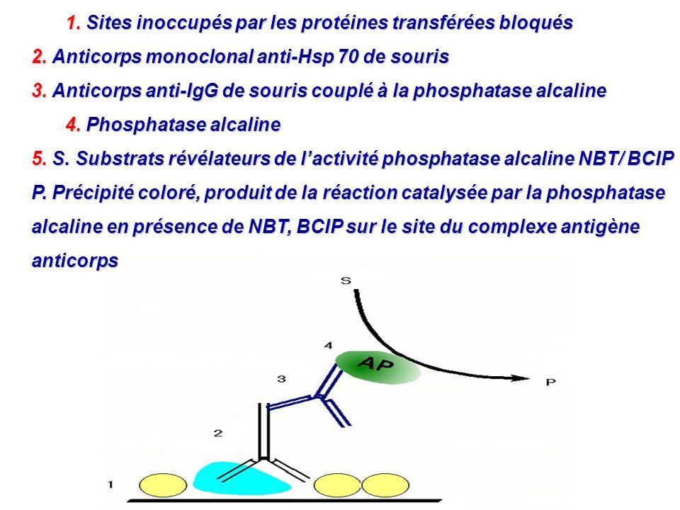 1. Sites inoccupés par les protéines transférées bloqués