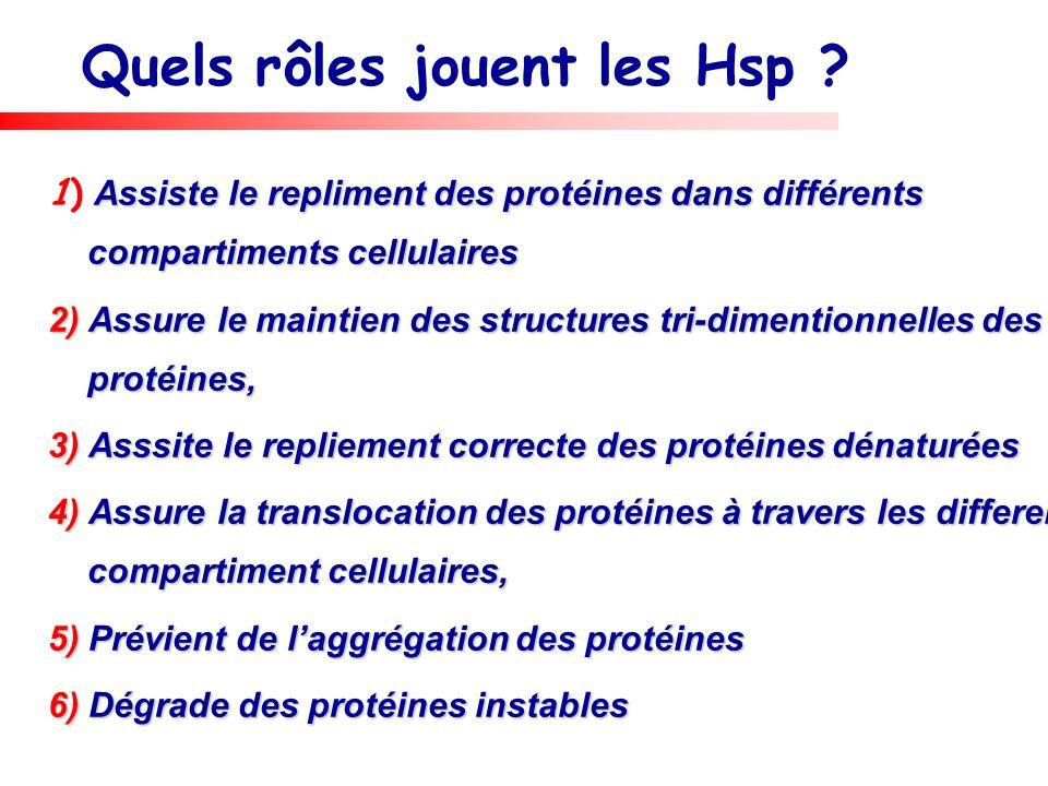Quels rôles jouent les Hsp