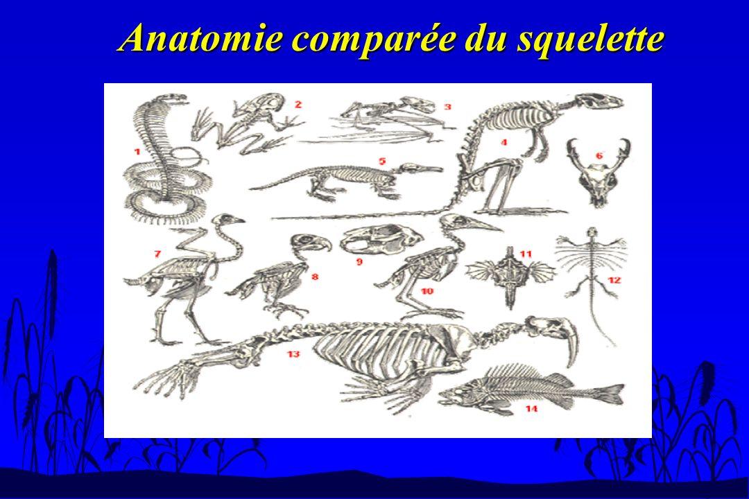 Anatomie comparée du squelette