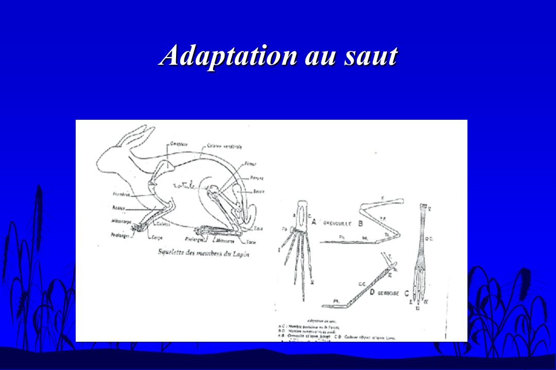 Adaptation au saut