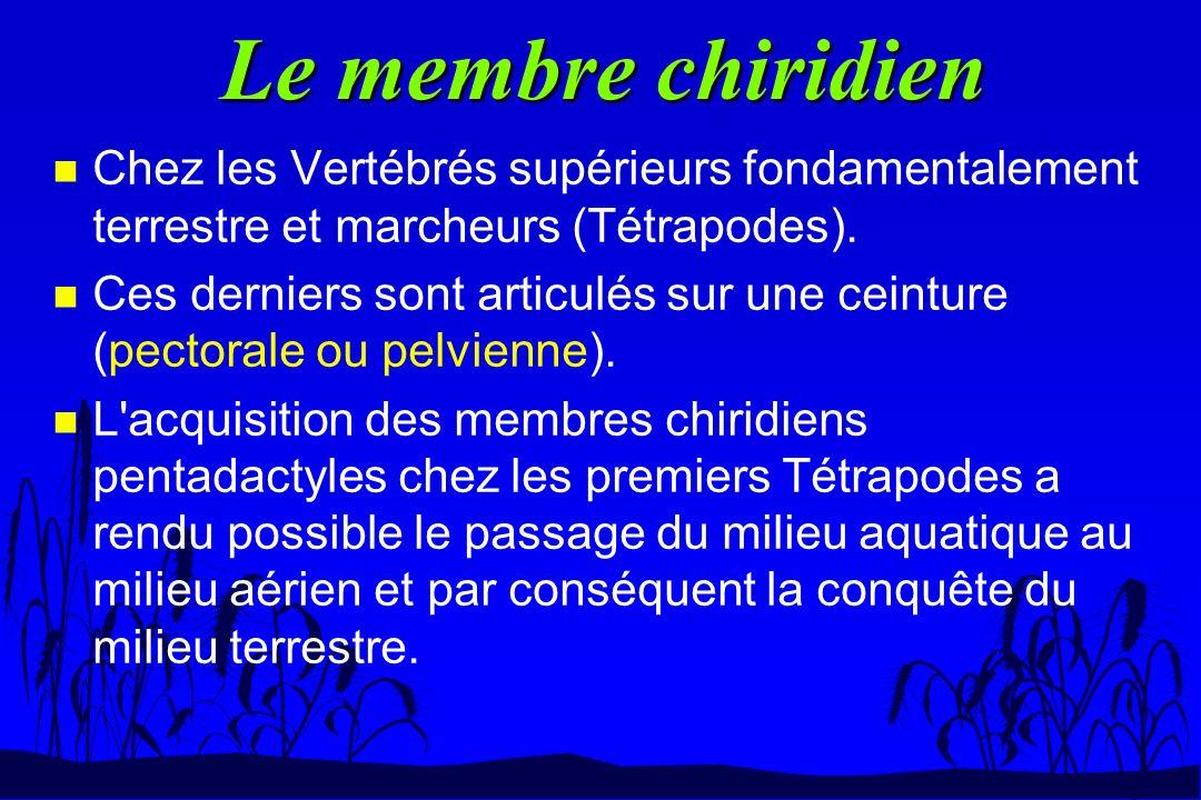 Le membre chiridien Chez les Vertébrés supérieurs fondamentalement terrestre et marcheurs (Tétrapodes).