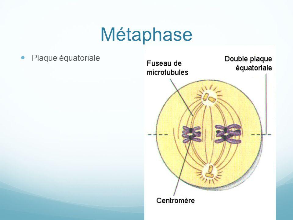 Métaphase Plaque équatoriale
