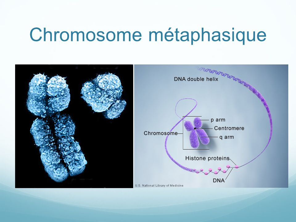 Chromosome métaphasique
