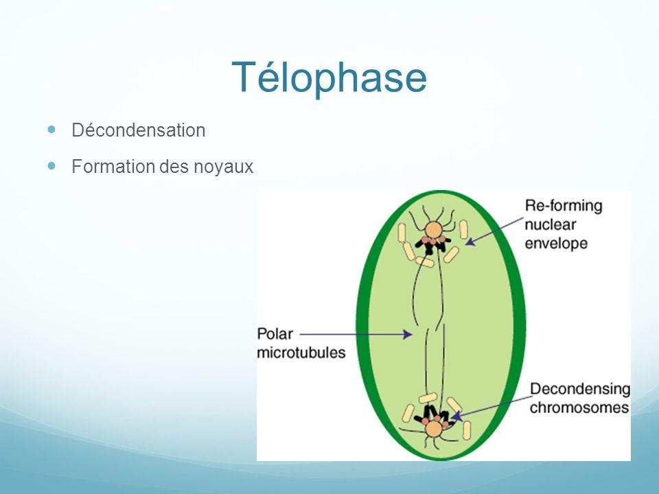 Télophase Décondensation Formation des noyaux