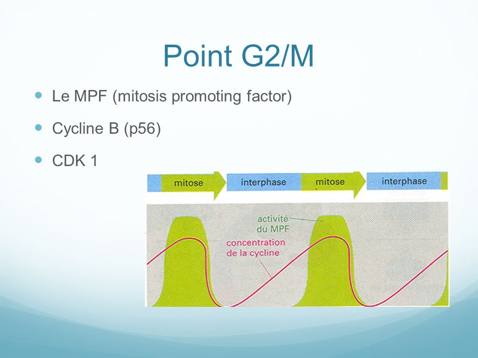 Point G2/M Le MPF (mitosis promoting factor) Cycline B (p56) CDK 1