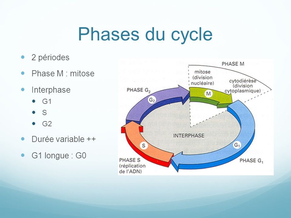 Phases du cycle 2 périodes Phase M : mitose Interphase