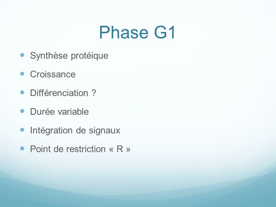 Phase G1 Synthèse protéique Croissance Différenciation