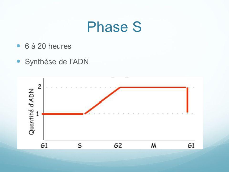 Phase S 6 à 20 heures Synthèse de l'ADN