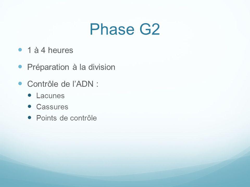 Phase G2 1 à 4 heures Préparation à la division Contrôle de l'ADN :