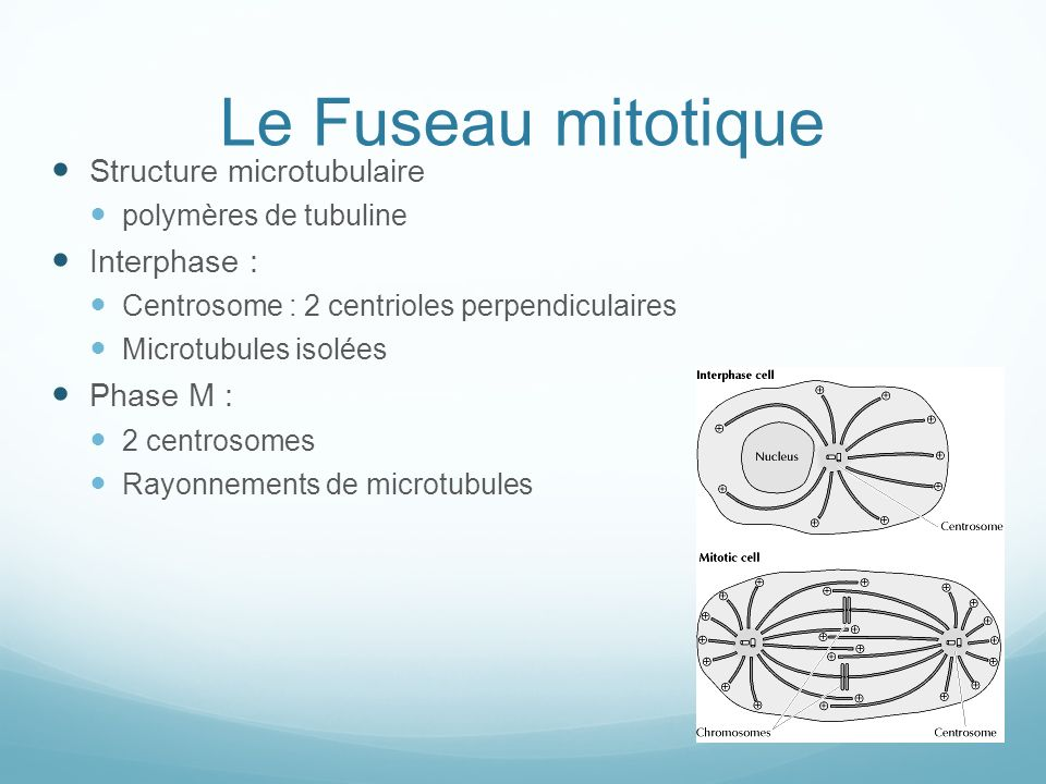 Le Fuseau mitotique Structure microtubulaire Interphase : Phase M :