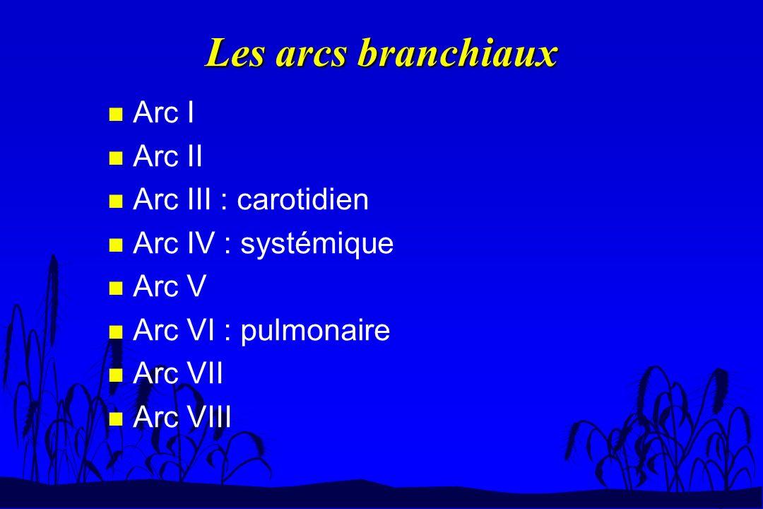 Les arcs branchiaux Arc I Arc II Arc III : carotidien