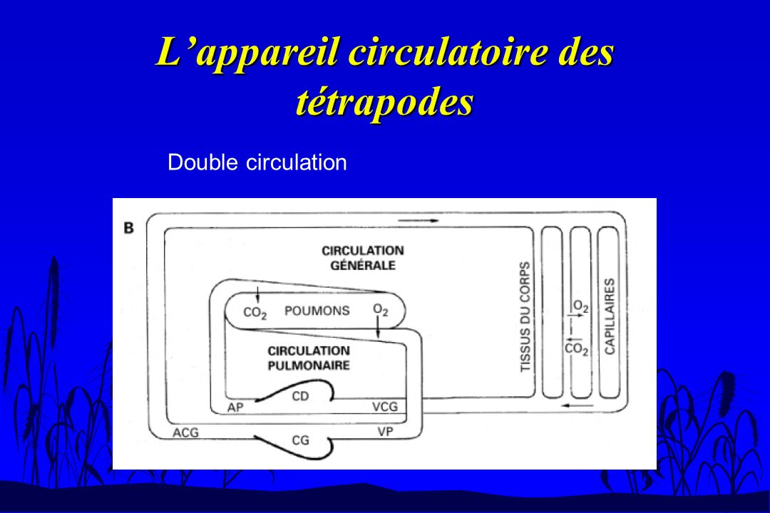 L'appareil circulatoire des tétrapodes