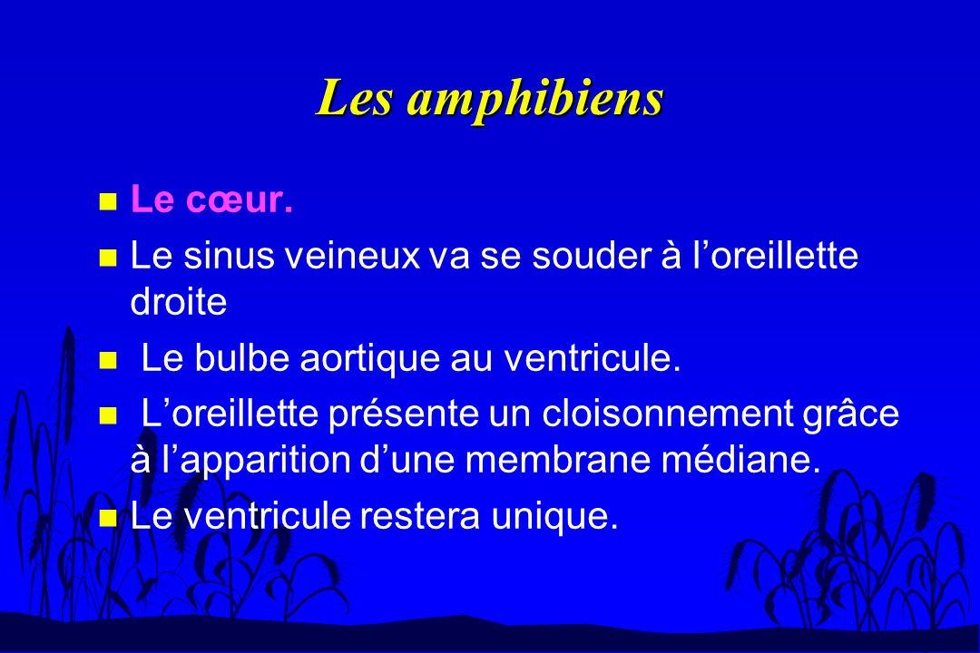 Les amphibiens Le cœur. Le sinus veineux va se souder à l'oreillette droite. Le bulbe aortique au ventricule.