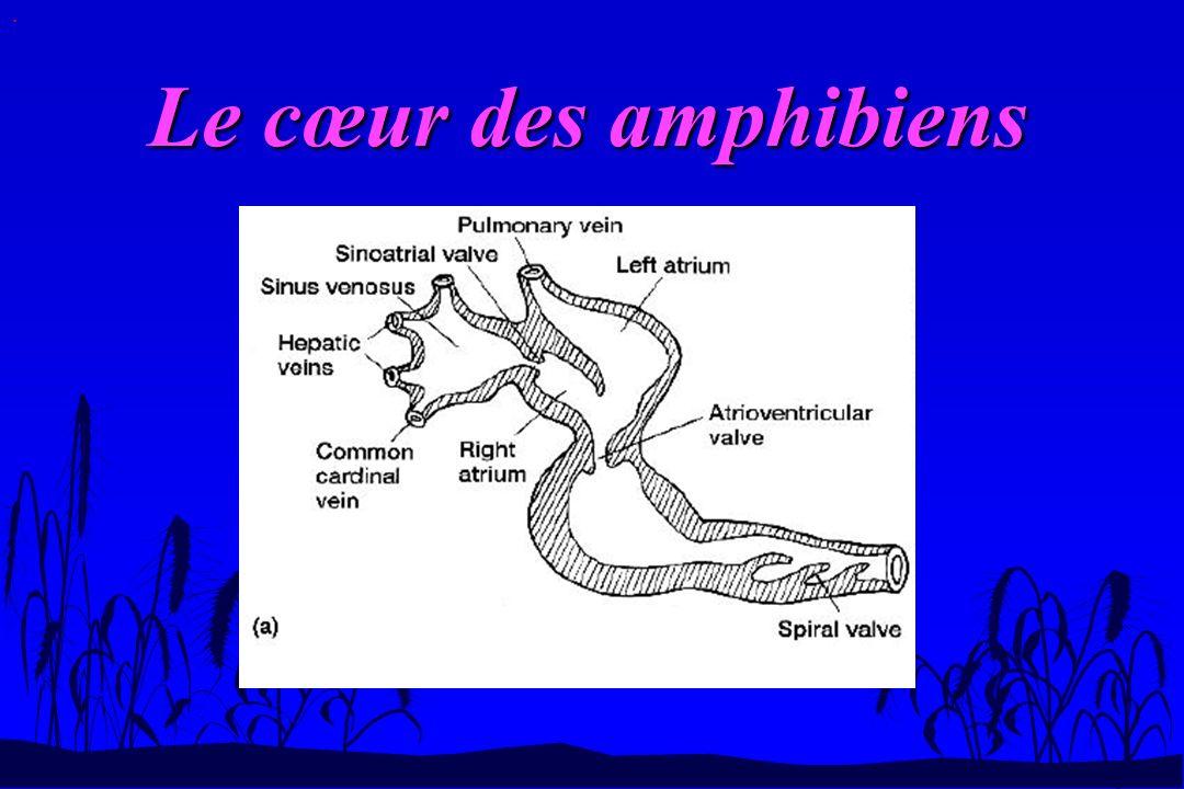 . Le cœur des amphibiens