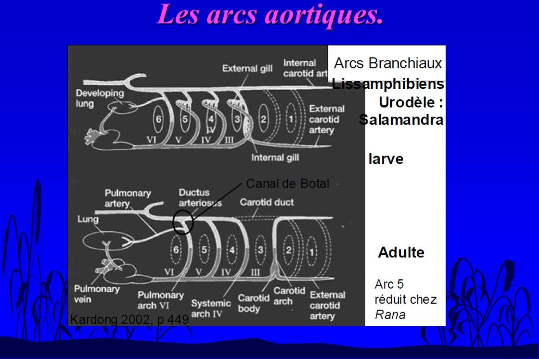 Les arcs aortiques.