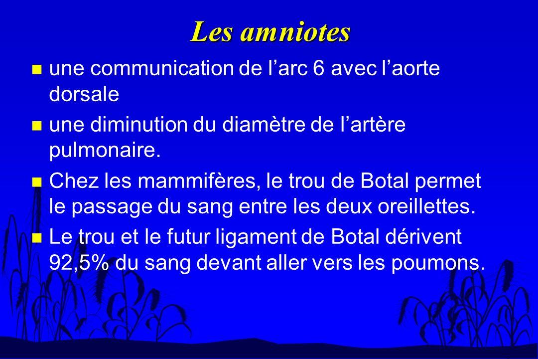 Les amniotes une communication de l'arc 6 avec l'aorte dorsale