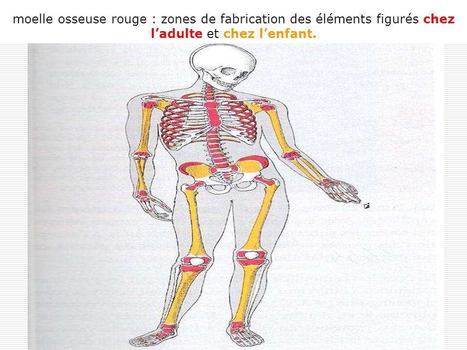 moelle osseuse rouge : zones de fabrication des éléments figurés chez l'adulte et chez l'enfant.