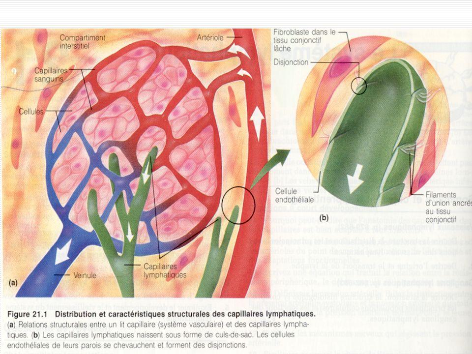 9 Les capillaires lymphatiques sont présents dans tous les tissus de l'organisme = capillaire lymphatique = gros vaisseaux lymphatiques.