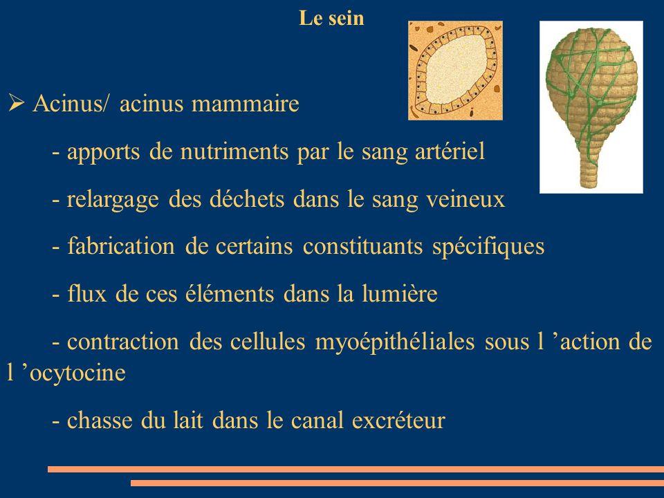 Acinus/ acinus mammaire - apports de nutriments par le sang artériel