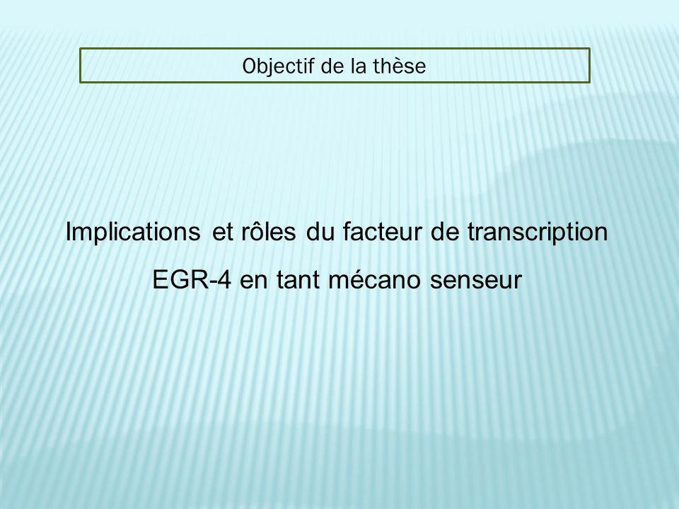 Objectif de la thèse Implications et rôles du facteur de transcription EGR-4 en tant mécano senseur