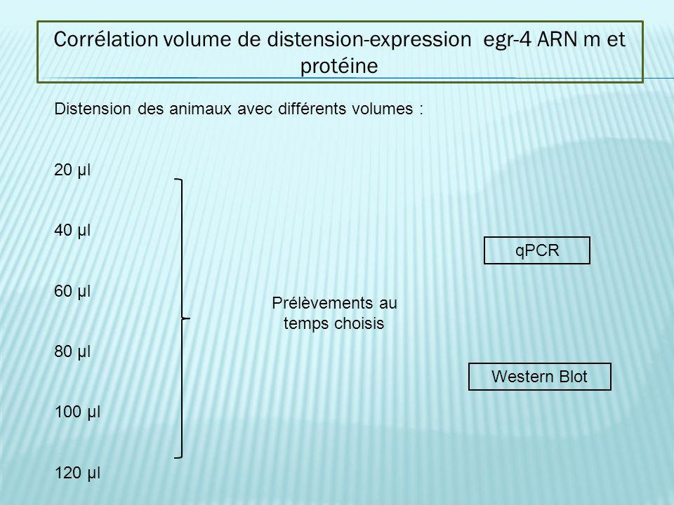 Corrélation volume de distension-expression egr-4 ARN m et protéine