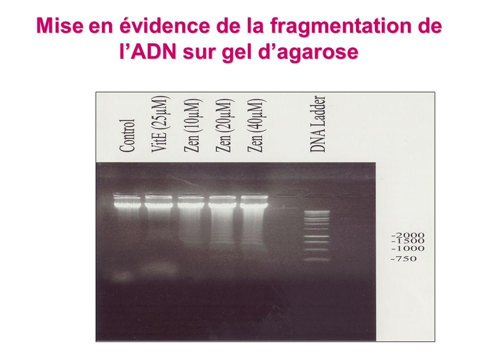 Mise en évidence de la fragmentation de l'ADN sur gel d'agarose