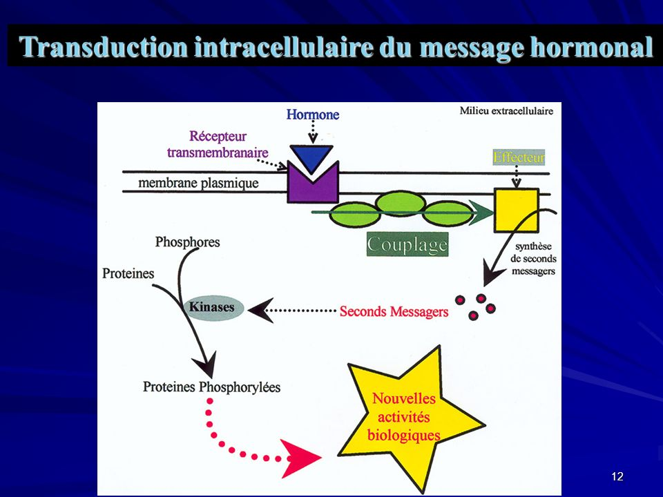 Transduction intracellulaire du message hormonal