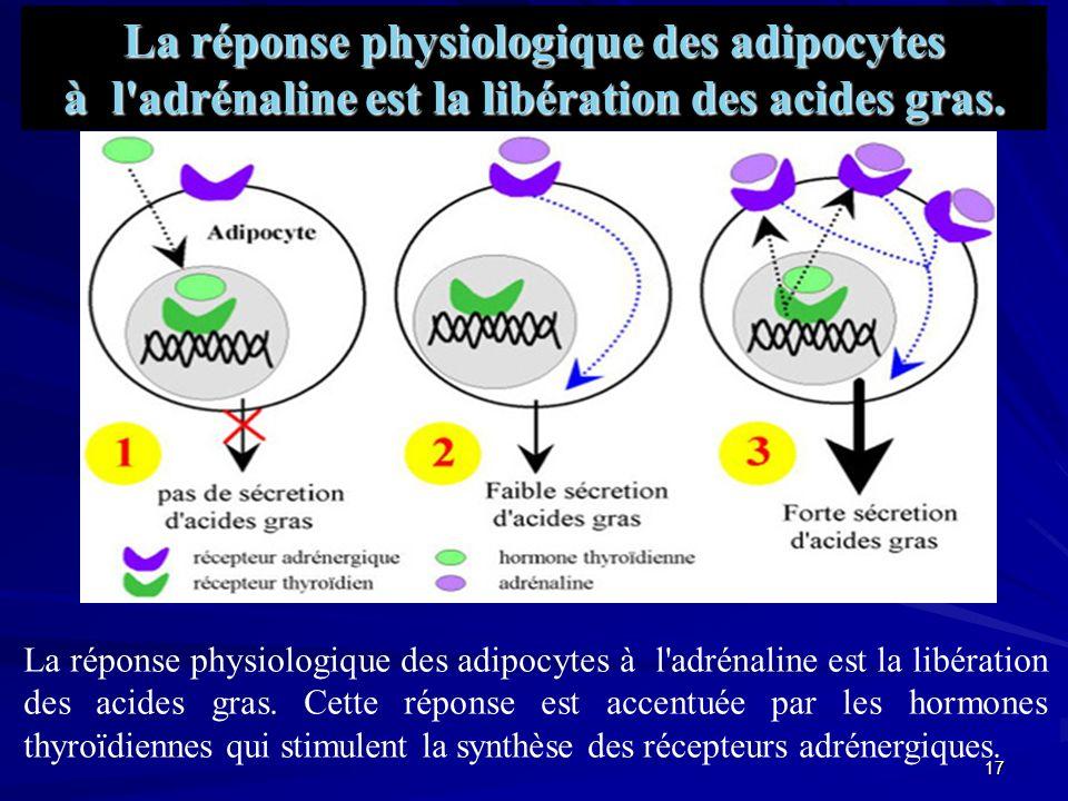 La réponse physiologique des adipocytes à l adrénaline est la libération des acides gras.