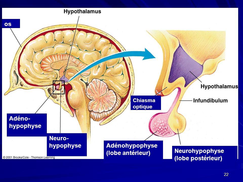 Ausgezeichnet Anatomie Und Physiologie Des Hypophyse Fotos ...