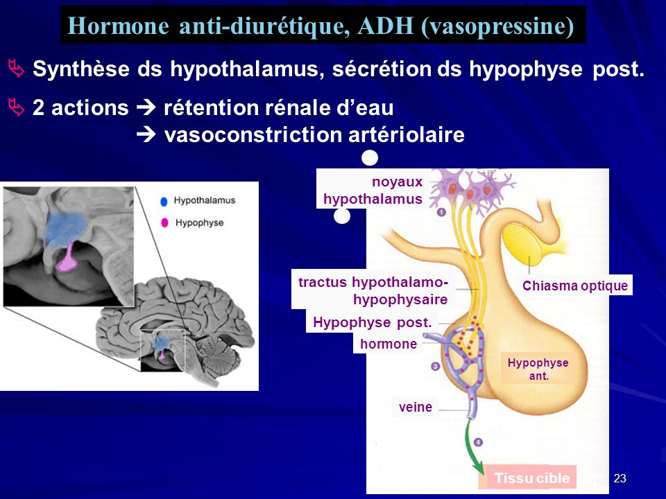 Hormone anti-diurétique, ADH (vasopressine)