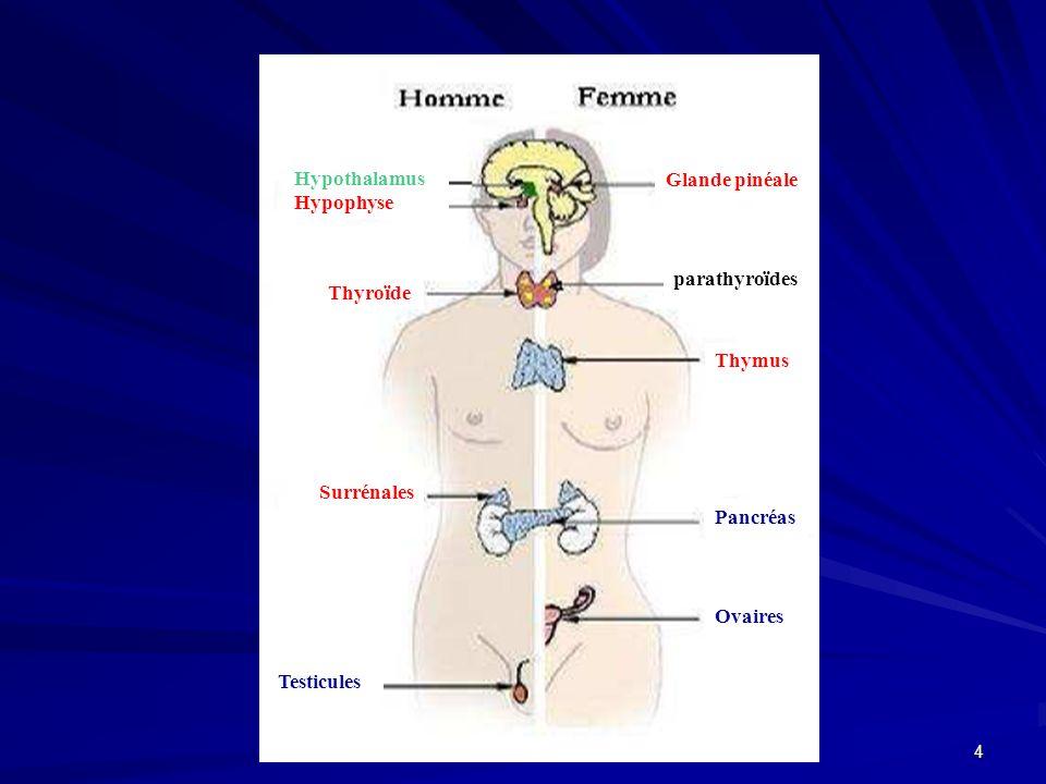 Hypothalamus Hypophyse. Glande pinéale. parathyroïdes. Thyroïde. Thymus. Surrénales. Pancréas.