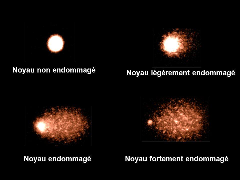Noyau non endommagé Noyau légèrement endommagé Noyau endommagé Noyau fortement endommagé