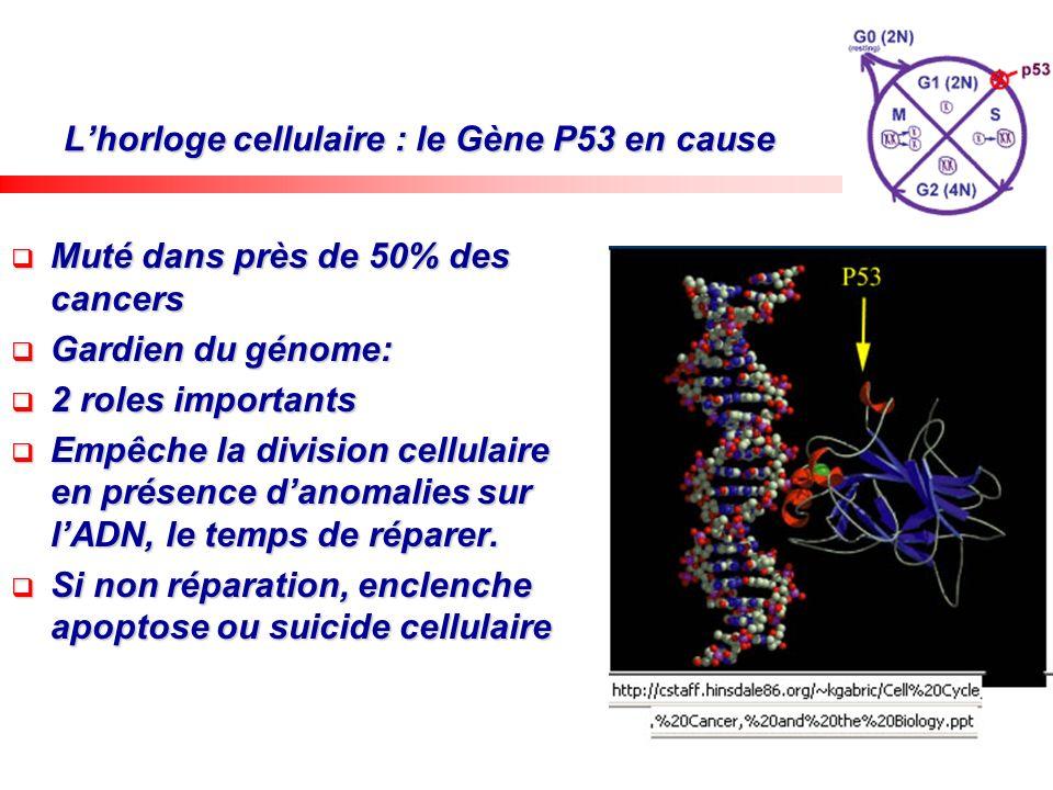 L'horloge cellulaire : le Gène P53 en cause