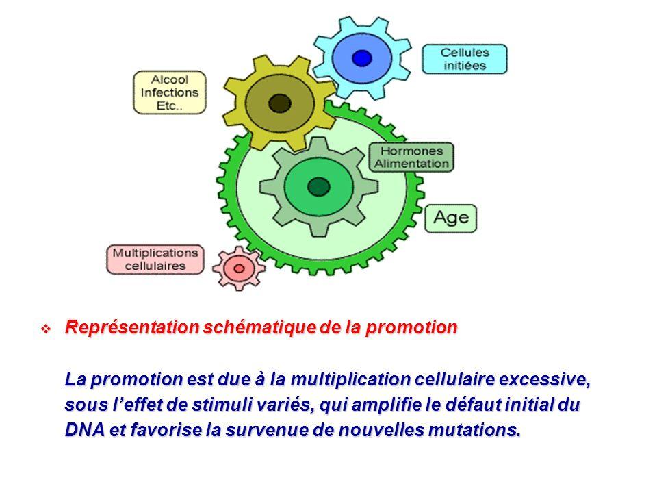 Représentation schématique de la promotion