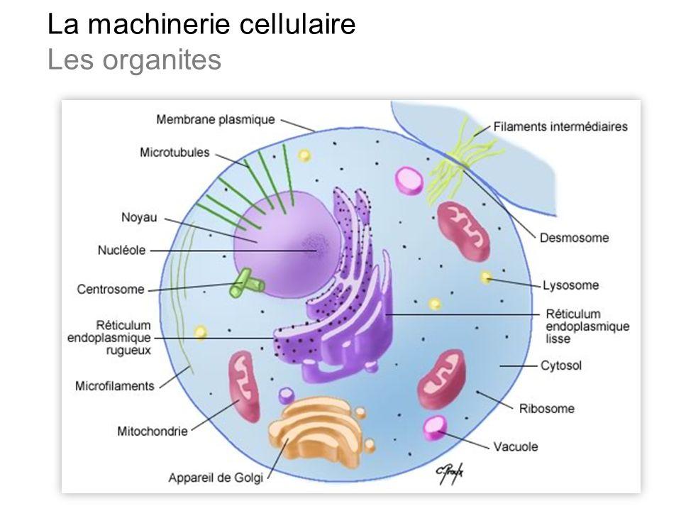 La machinerie cellulaire Les organites