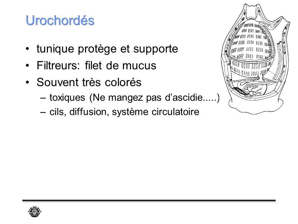 Urochordés tunique protège et supporte Filtreurs: filet de mucus
