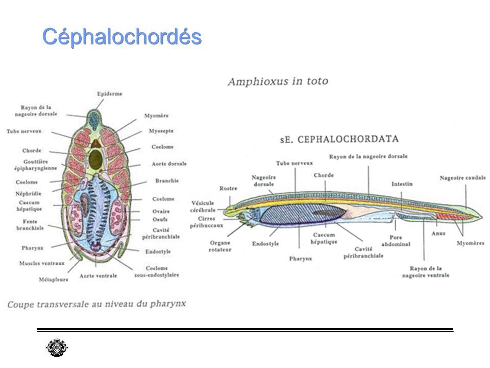 Céphalochordés