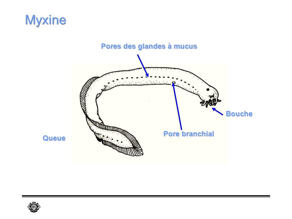 Myxine Pores des glandes à mucus Bouche Pore branchial Queue