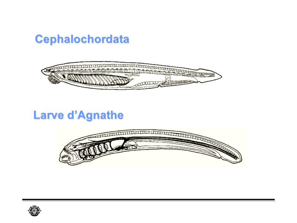 Cephalochordata Larve d'Agnathe