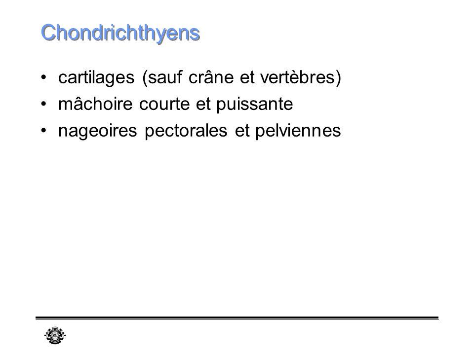 Chondrichthyens cartilages (sauf crâne et vertèbres)