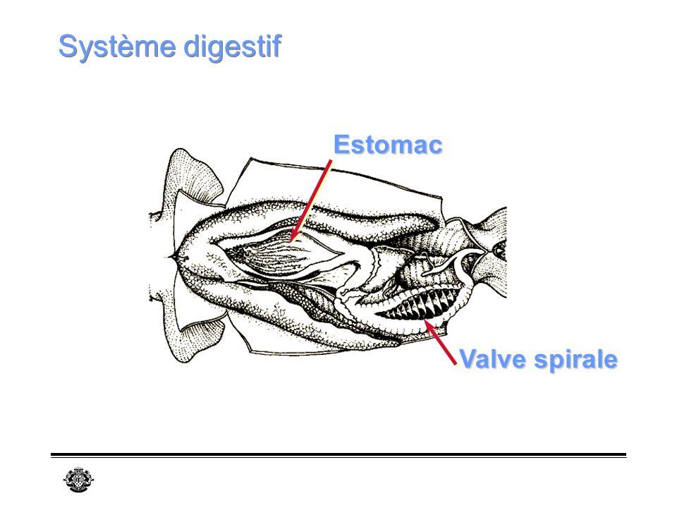 Système digestif Estomac Valve spirale