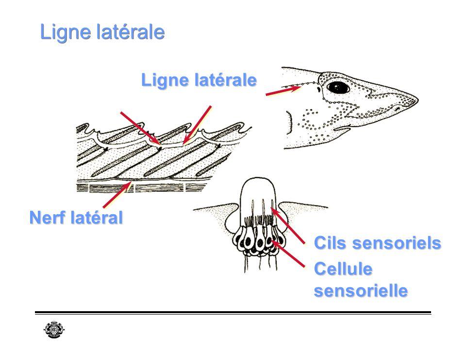 Ligne latérale Ligne latérale Nerf latéral Cils sensoriels Cellule