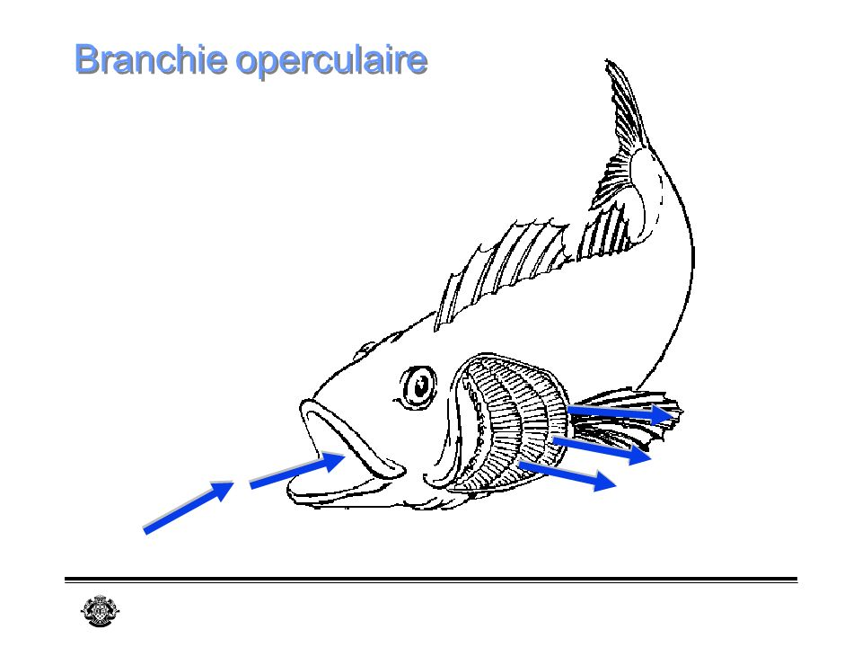 Branchie operculaire