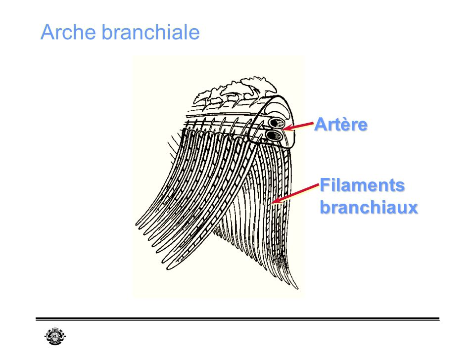 Arche branchiale Artère Filaments branchiaux