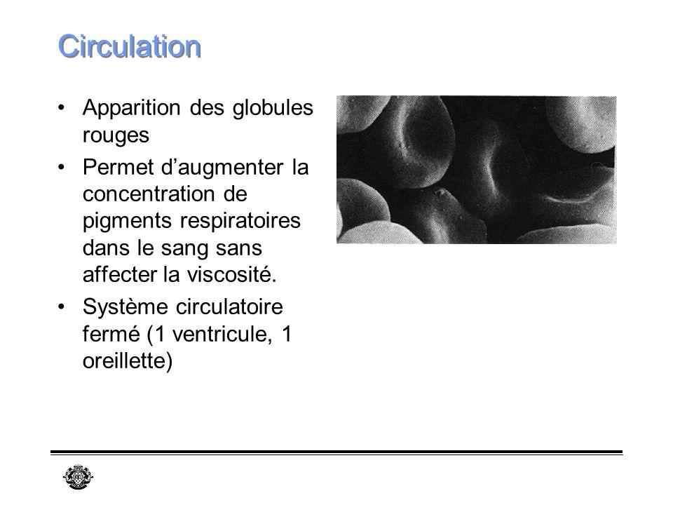 Circulation Apparition des globules rouges