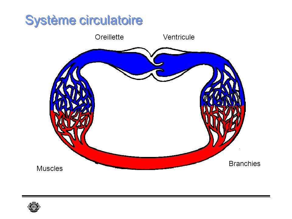Système circulatoire Oreillette Ventricule Branchies Muscles